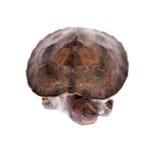 Покрашенная водяная черепаха реки на белой предпосылке Стоковое Изображение RF