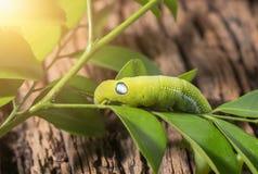 Покрашенная гусеница или зеленый червь, nerii Daphnis есть лист Стоковые Изображения
