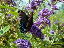 Покрашенная дама Бабочка, и фиолетовая сирень Sommer стоковые изображения rf