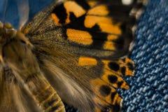 Покрашенная дама Бабочка Макрос Фотография Стоковое Изображение RF