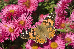 Покрашенная дама Бабочка (cardui Ванессы) на астре Стоковая Фотография