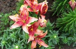 Покрашенная лилия в саде Стоковое Фото