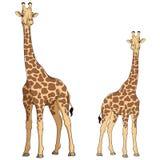 Покрашенная иллюстрация вектора жирафа Изолированные предметы Стоковое фото RF