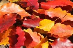 Покрашенная листва осени Стоковая Фотография RF