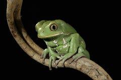 Покрашенная лягушка обезьяны Стоковая Фотография