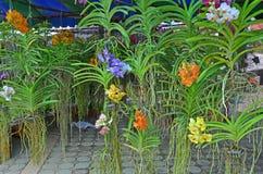 Покрашенная орхидея в баках в магазине Стоковая Фотография RF