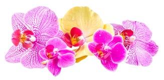 Покрашенная орхидея цветет, mauve, желтый цвет, пинк, пурпур, фаленопсис Orhideea Стоковое фото RF