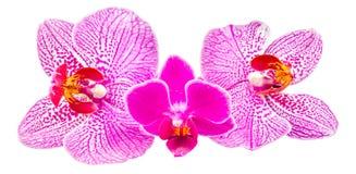 Покрашенная орхидея цветет, mauve, желтый цвет, пинк, пурпур, фаленопсис Orhideea Стоковые Фотографии RF