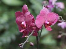 Покрашенная орхидея Стоковая Фотография RF