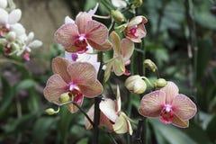 Покрашенная орхидея Стоковое Изображение