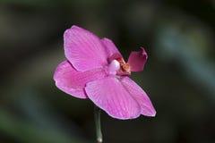 Покрашенная орхидея Стоковые Изображения RF