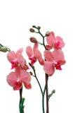 Покрашенная орхидея Стоковое Фото