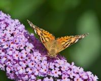 Покрашенная повелительница Бабочка Стоковая Фотография