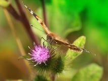 покрашенная повелительница бабочки стоковые изображения rf