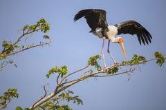 Покрашенная птица аиста Стоковое Изображение RF