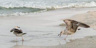 Покрашенная птица чайки на пляже песка Стоковое фото RF
