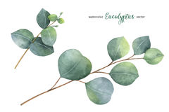Покрашенная рука вектора акварели установила с листьями и ветвями евкалипта Стоковое Изображение RF