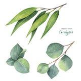 Покрашенная рука вектора акварели установила с листьями и ветвями евкалипта Стоковое Фото