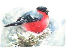 Покрашенная рука иллюстрации зимы акварели птицы Bullfinch Стоковая Фотография