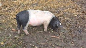2 покрашенная свинья снаружи на ферме Стоковые Фотографии RF