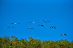 Покрашенная свобода летания аиста дальше на небе Стоковые Изображения RF