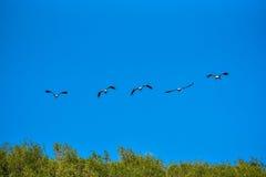 Покрашенная свобода летания аиста дальше на небе Стоковое Фото