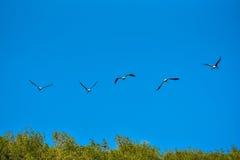 Покрашенная свобода летания аиста дальше на небе Стоковая Фотография RF