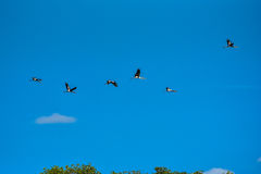 Покрашенная свобода летания аиста дальше на небе Стоковое фото RF