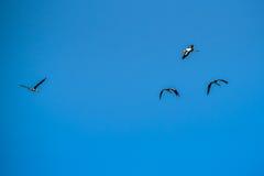 Покрашенная свобода летания аиста дальше на небе Стоковое Изображение RF