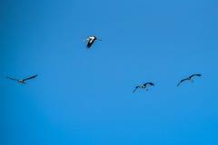 Покрашенная свобода летания аиста дальше на небе Стоковые Изображения
