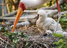 Покрашенная семья аиста на гнезде Стоковые Фото