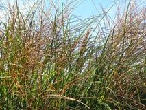 Покрашенная трава дюн в ветре Стоковое Изображение RF