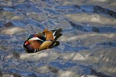 Покрашенная утка, утка плавая на воду стоковое фото rf