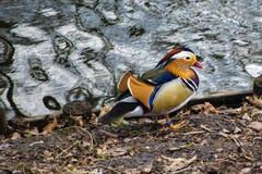 Покрашенная утка, утка плавая на воду стоковая фотография rf