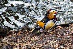 Покрашенная утка, положение утки на береге озера или река стоковые изображения