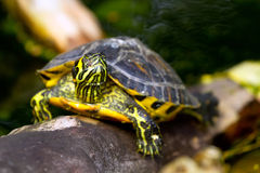 Покрашенная черепаха в живой природе Стоковое Изображение RF