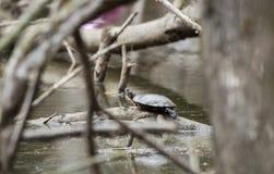Покрашенная черепаха на тинном пруде трясины в Georgia, США Стоковая Фотография