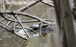 Покрашенная черепаха на тинном пруде трясины в Georgia, США Стоковое Фото