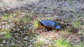 Покрашенная черепаха покрывает ее гнездо сток-видео