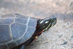 покрашенная черепаха Стоковые Изображения RF