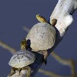 покрашенная chrysemys черепаха picta западная Стоковая Фотография RF
