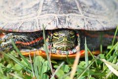 покрашенная chrysemys черепаха picta Стоковые Изображения