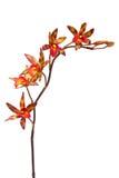 покрашенная multi орхидея Стоковые Фото
