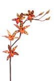 покрашенная multi орхидея Стоковые Фотографии RF
