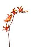 покрашенная multi орхидея Стоковое фото RF