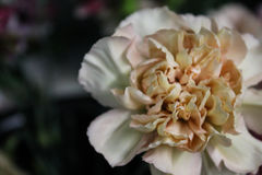 Покрашенное антиквариатом цветене гвоздики Стоковое Фото