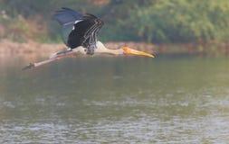 Покрашенное летание птицы аиста стоковая фотография