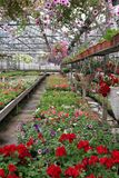 Покрашенное поле пеларгонии и петуньи с цветочными горшками смертной казни через повешение Поле красного гераниума и для продажи  Стоковое Фото