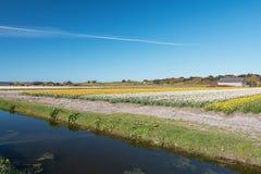Покрашенное поле шариков цветка в провинции северной Голландии Стоковая Фотография RF