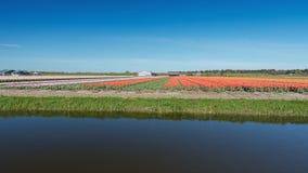 Покрашенное поле шариков цветка в провинции северной Голландии Стоковое Изображение RF